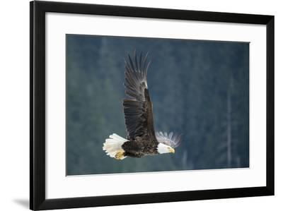 A Bald Eagle in Flight Near Petersburg, Inside Passage, Alaska-Michael Melford-Framed Photographic Print