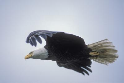 A Bald Eagle in Flight-Tom Murphy-Photographic Print