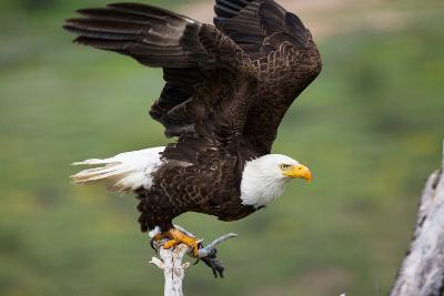 A Bald Eagle Prepares to Take Flight from a Tree Branch-Charlie James-Photographic Print