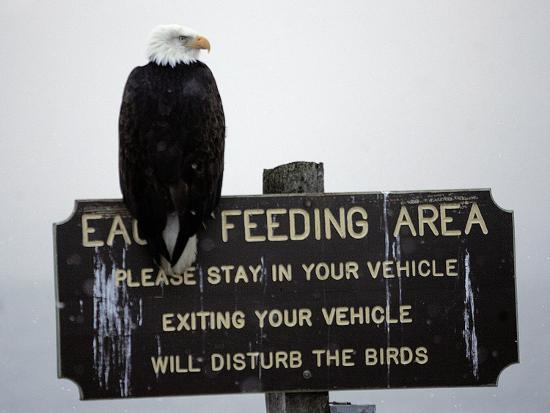 A Bald Eagle Sits on a Sign at the Eagle Feeding and Viewing Area--Photographic Print