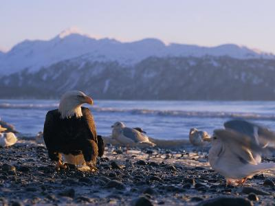 A Bald Eagle Surrounded by Sea Gulls-Norbert Rosing-Photographic Print