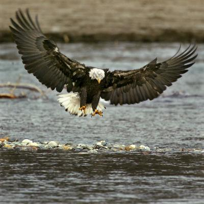 A Bald Eagle Swoops Down for a Landing While Looking for Fish--Photographic Print