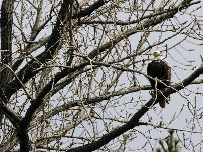 A Bald Eagle Takes a Break in a Tree Overlooking the Pentagon--Photographic Print