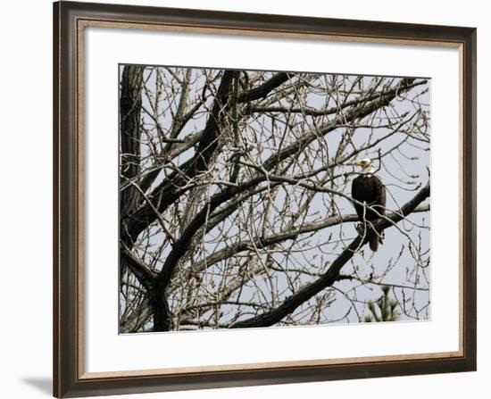 A Bald Eagle Takes a Break in a Tree Overlooking the Pentagon--Framed Photographic Print