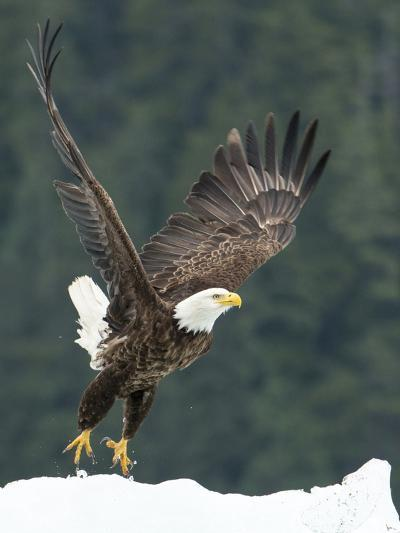 A Bald Eagle Takes Flight Near Petersburg, Inside Passage, Alaska-Michael Melford-Photographic Print