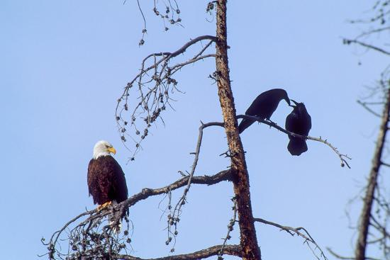 A Bald Eagle Watches Two Ravens in Disgust-Tom Murphy-Photographic Print