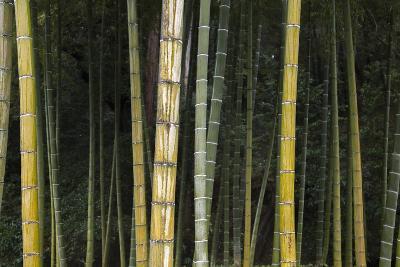 A Bamboo Forest in Koinzan Saihoji, Popularly known as Kokedera or Moss Temple-Macduff Everton-Photographic Print