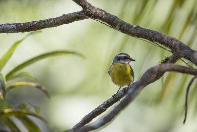 A Bananaquit Bird, Coereba Flaveola, Rests on a Branch in Ubatuba-Alex Saberi-Photographic Print