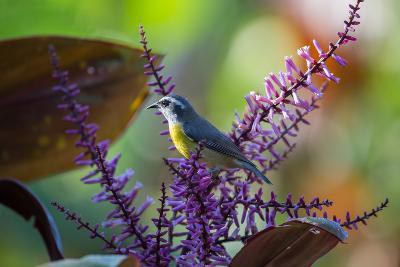 A Bananaquit Feeds from a Purple Flowering Plant in the Atlantic Rainforest-Alex Saberi-Photographic Print