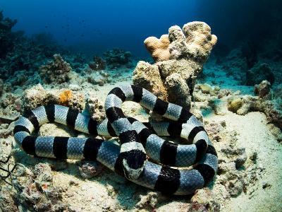 A Banded Sea Snake, Laticauda Colubrina, Sleeps on the Ocean Floor-Mauricio Handler-Photographic Print