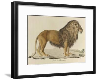 a Barbary Lion