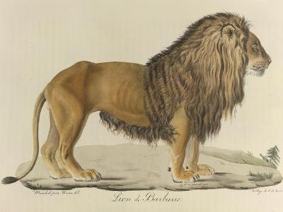 a Barbary Lion--Giclee Print