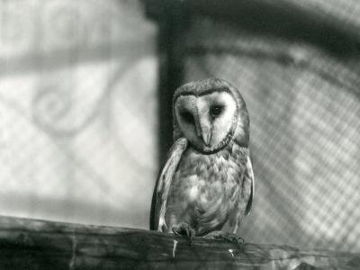A Barn Owl at London Zoo, January 1922-Frederick William Bond-Photographic Print