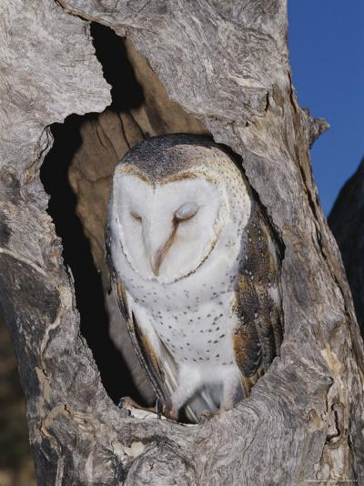 A Barn Owl Resting in its Roost in a Hollow Tree-Jason Edwards-Photographic Print
