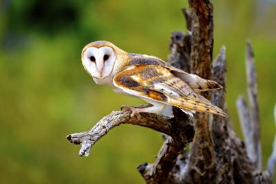 A Barn Owl (Tyto Alba) Perching-Richard Wright-Photographic Print