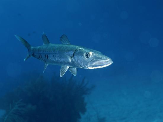 A Barracuda Fish-Wolcott Henry-Photographic Print