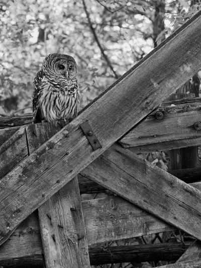 A Barred Owl, Strix Varia, Sits on a Farmer's Gate-Robbie George-Photographic Print