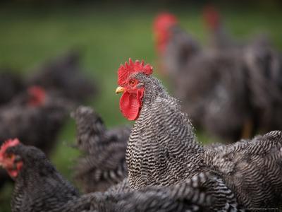 A Barred Plymouth Rock Chicken Free Ranging at a Farm in Kansas-Joel Sartore-Photographic Print