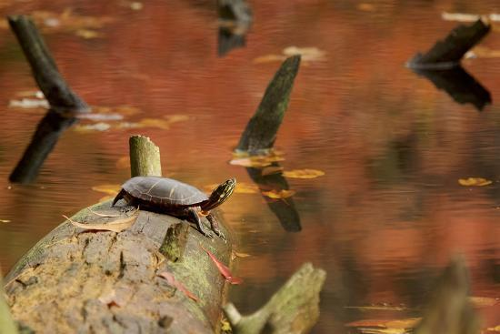 A basking Eastern Painted Turtle, Chrysemys picta.-Tim Laman-Photographic Print