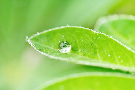A bead of rainwater rests on the leaf of a lupine plant.-Amy White-Photographic Print