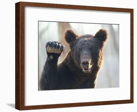 A Bear Waves at the Camera-Raymond Gehman-Framed Photographic Print