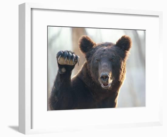 A Bear Waves at the Camera-Raymond Gehman-Framed Photographic Print
