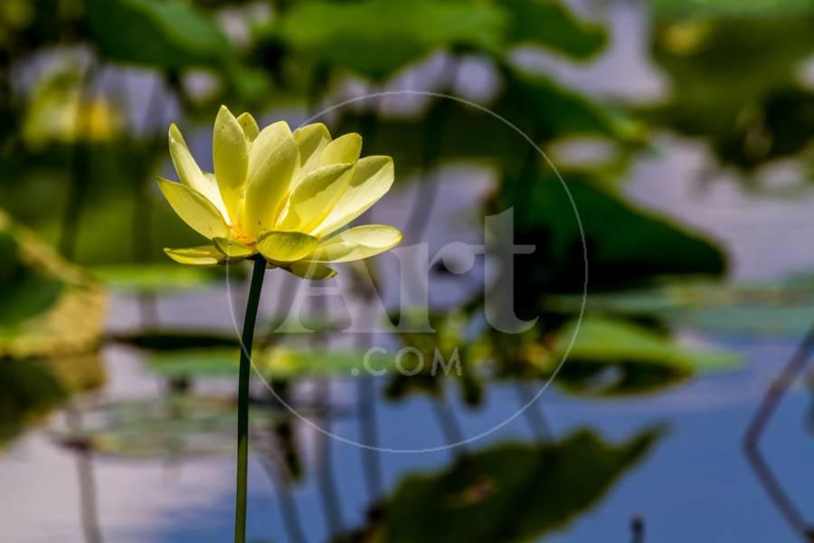 A Beautiful Blooming Yellow Lotus Water Lily Pad Flower Photographic