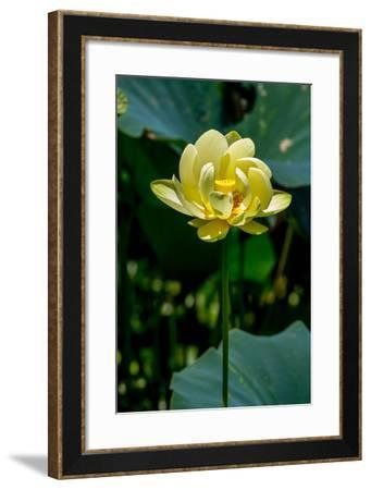 A Beautiful Blooming Yellow Lotus Water Lily Pad Flower-Richard McMillin-Framed Photographic Print