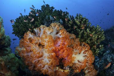 A Beautiful Cluster of Soft Coral Colonies on a Coral Reef in Indonesia-Stocktrek Images-Photographic Print