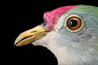 https://imgc.artprintimages.com/img/print/a-beautiful-fruit-dove-ptilinopus-pulchellus-at-the-sedgwick-county-zoo_u-l-q135yqf0.jpg?p=0