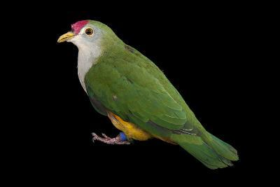 A Beautiful Fruit Dove, Ptilinopus Pulchellus, at the Sedgwick County Zoo-Joel Sartore-Photographic Print