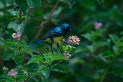 A Beautiful Iridescent Blue Bird on a Branch of Flowers-Bob Smith-Photographic Print