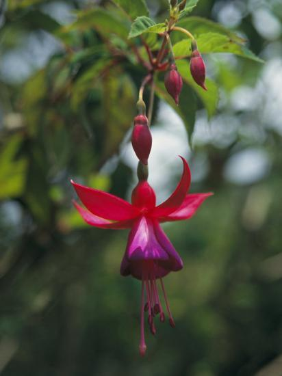 A Beautiful Red and Purple Hanging Flower Blossom-David Evans-Photographic Print