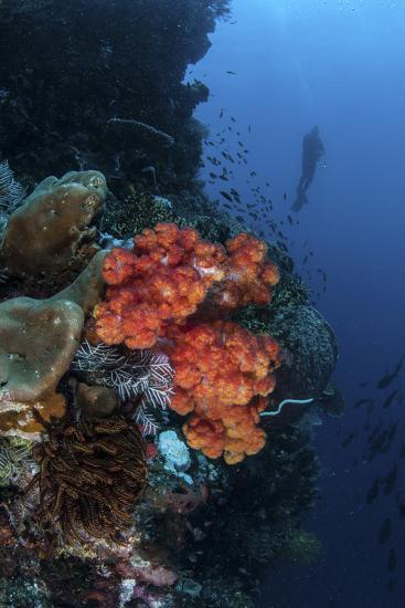 A Beautiful Soft Coral Colony Grows on a Reef Wall in Indonesia-Stocktrek Images-Photographic Print