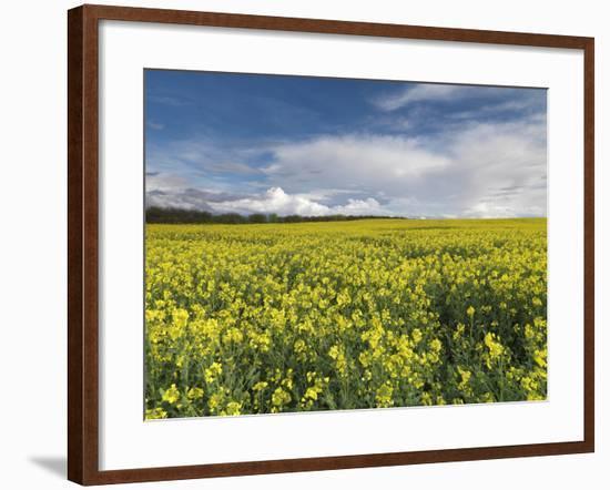 A Beautiful Spring View Showing a Rape Field Near Morston, Norfolk, England-Jon Gibbs-Framed Photographic Print