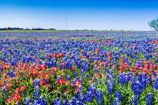 A Beautiful Wide Angle Hi Res Panoramic View of Bright Orange Paintbrush and Bluebonnet Wildflowers-Richard McMillin-Photographic Print