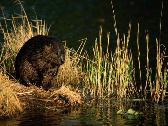 A Beaver Perches on the Waters Edge Near Quabbin Reservoir-Tim Laman-Photographic Print