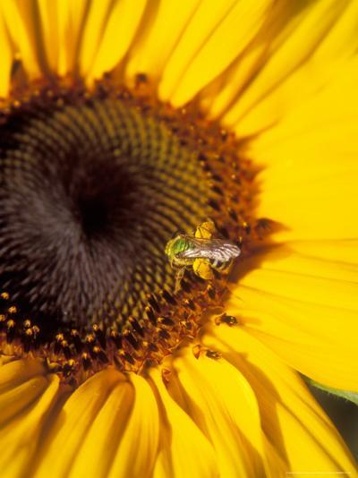 A Bee Collecting Pollen From a Sunflower, Walla Walla, Washington, USA-Brent Bergherm-Photographic Print