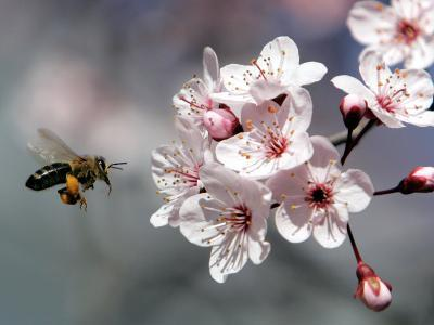 A Bee Hovers in Front of a Blossom of a Plum Tree--Photographic Print