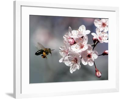 A Bee Hovers in Front of a Blossom of a Plum Tree--Framed Photographic Print