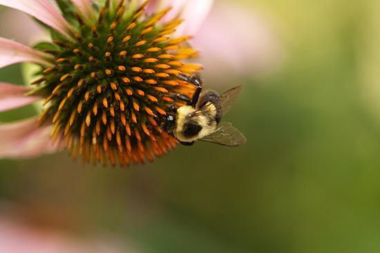 A Bee on a Coneflower-Vickie Lewis-Photographic Print