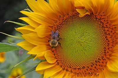 A Bee on a Sunflower-Donna O'Meara-Photographic Print