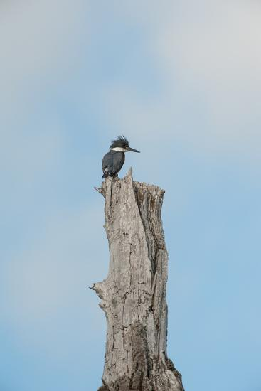 A Belted Kingfisher Perches on a Broken Cottonwood Tree-Tom Murphy-Photographic Print