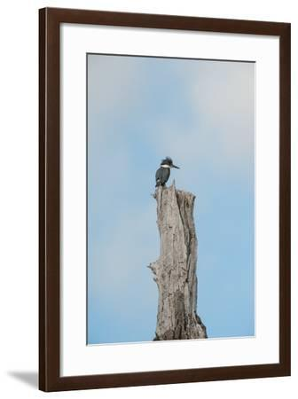 A Belted Kingfisher Perches on a Broken Cottonwood Tree-Tom Murphy-Framed Photographic Print