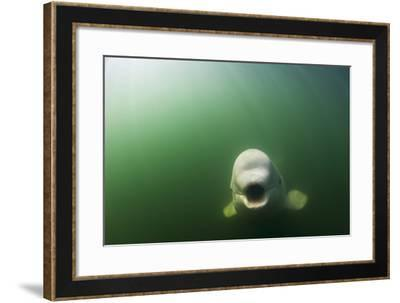A Beluga Whale Swims in Saguenay Saint Lawrence Marine Park-David Doubilet-Framed Photographic Print