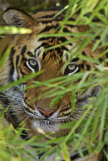A Bengal Tiger Hidden by Bamboo Leaves-Steve Winter-Photographic Print