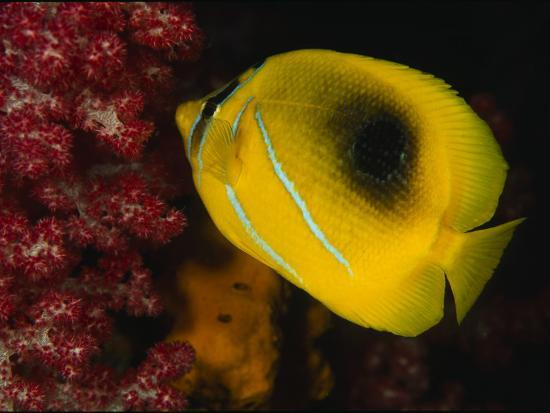 A Bennett's Butterfly Fish Swimming Near Pink Soft Coral-Tim Laman-Photographic Print