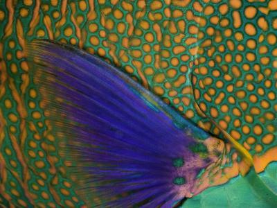 A Bicolor Parrotfish (Cetoscarus Bicolor) Sleeping at Night. Indonesia-David Fleetham-Photographic Print