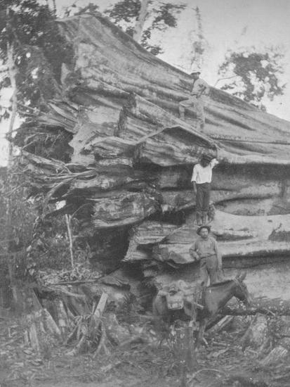'A big bit of Brazilian Timber', 1914-Unknown-Photographic Print