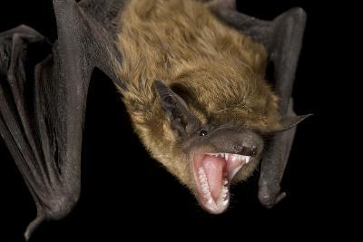 A Big Brown Bat, Eptesicus Fuscus.-Joel Sartore-Photographic Print